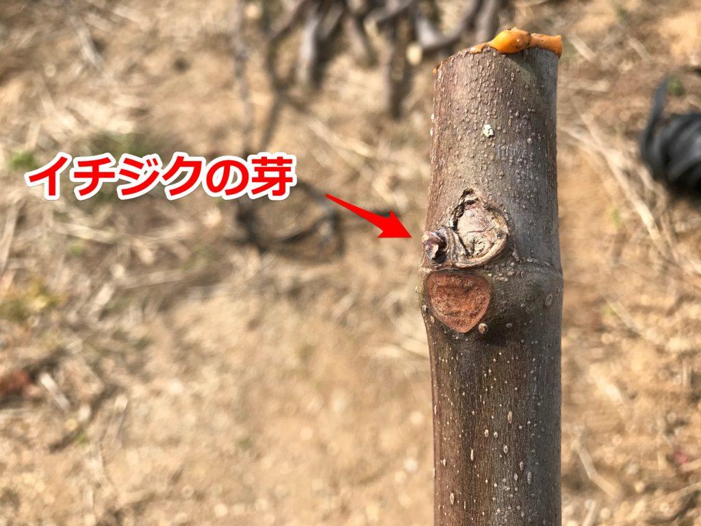 イチジク 挿し木 穂木