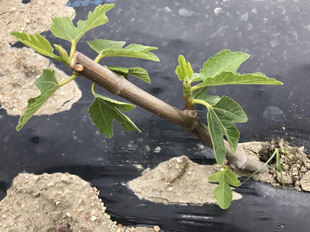 イチジク 挿し木